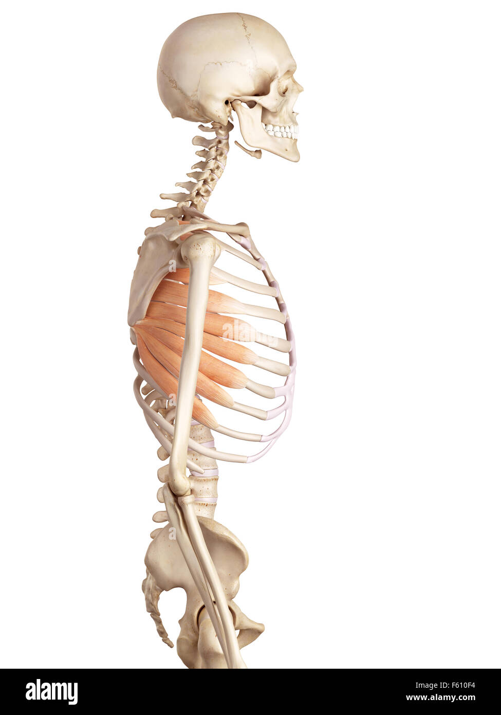 Serratus Anterior Muscle Stock Photos & Serratus Anterior Muscle ...