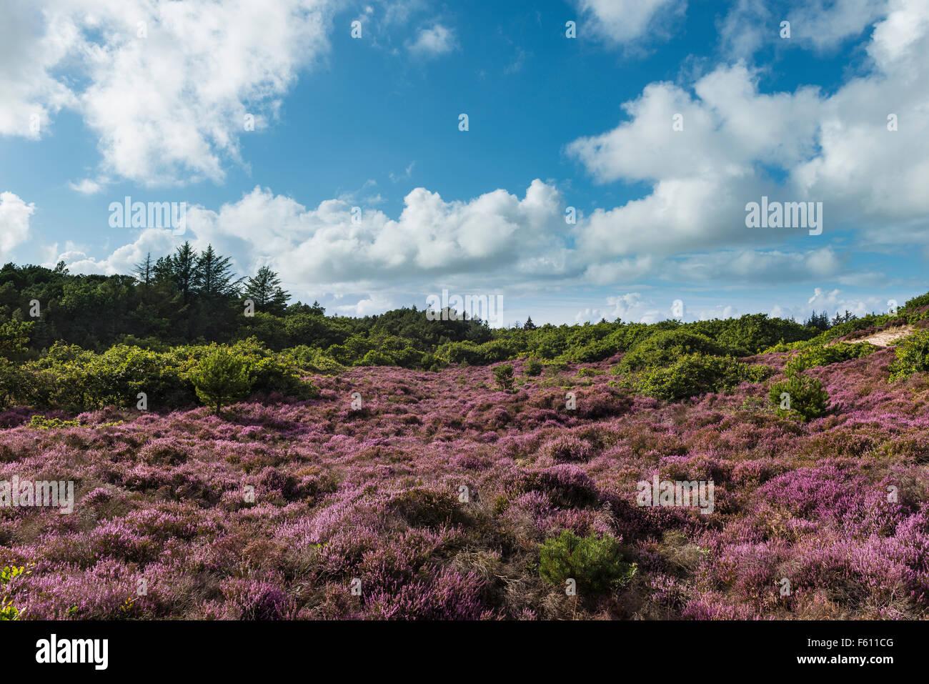 Heathland with flowering heather (Calluna vulgaris), Oksböl, Region of Southern Denmark, Denmark Stock Photo