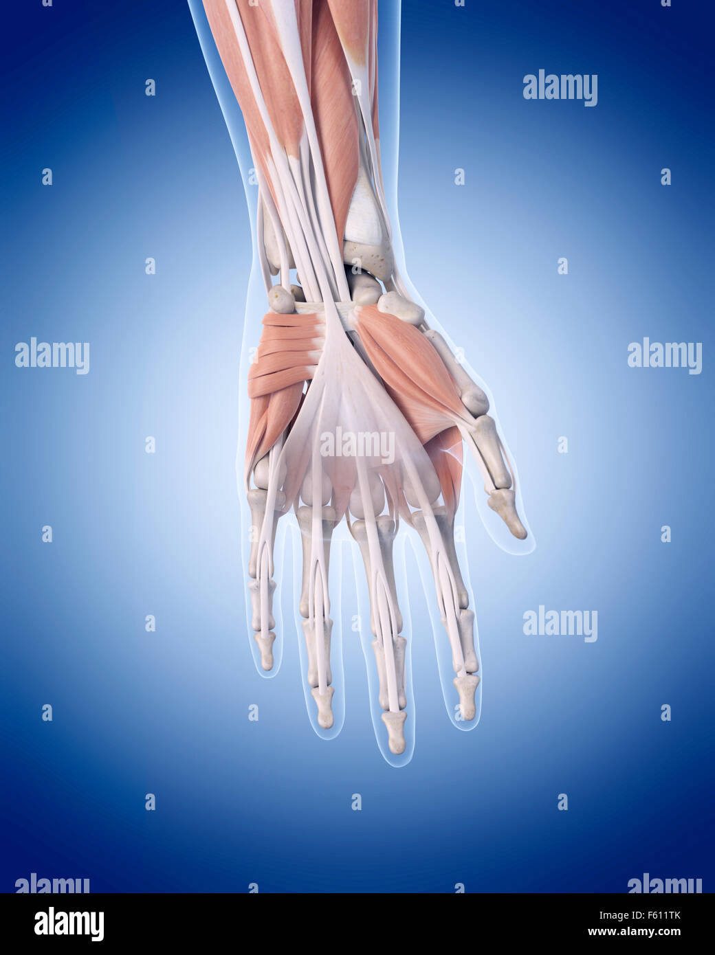 Hand Anatomy Artwork Tendon Stock Photos Hand Anatomy Artwork