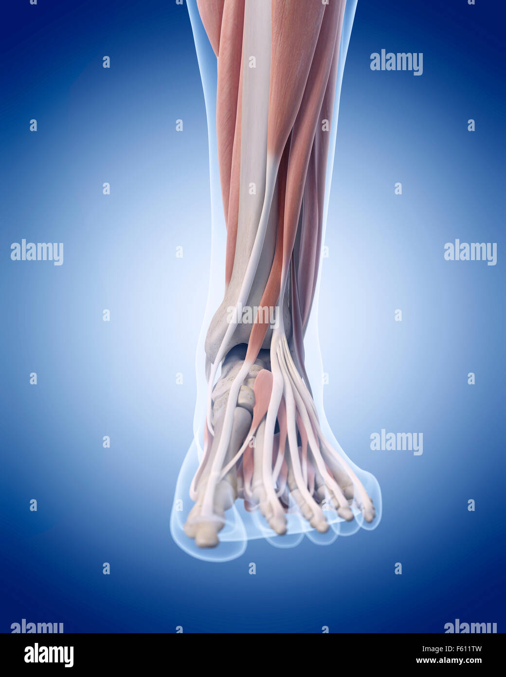 Human Ankle Muscles Stock Photos & Human Ankle Muscles Stock Images ...