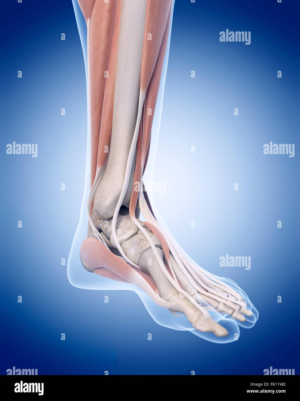 Human Muscle Foot Anatomy Stock Photos & Human Muscle Foot Anatomy ...
