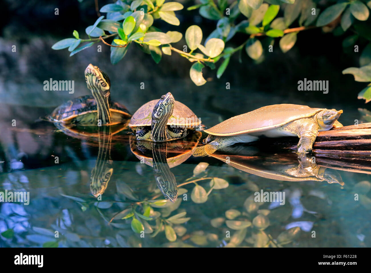 Spiny softshell turtle (Apalone spinifera) and red-eared slider or red-eared terrapin (Trachemys scripta elegans), - Stock Image