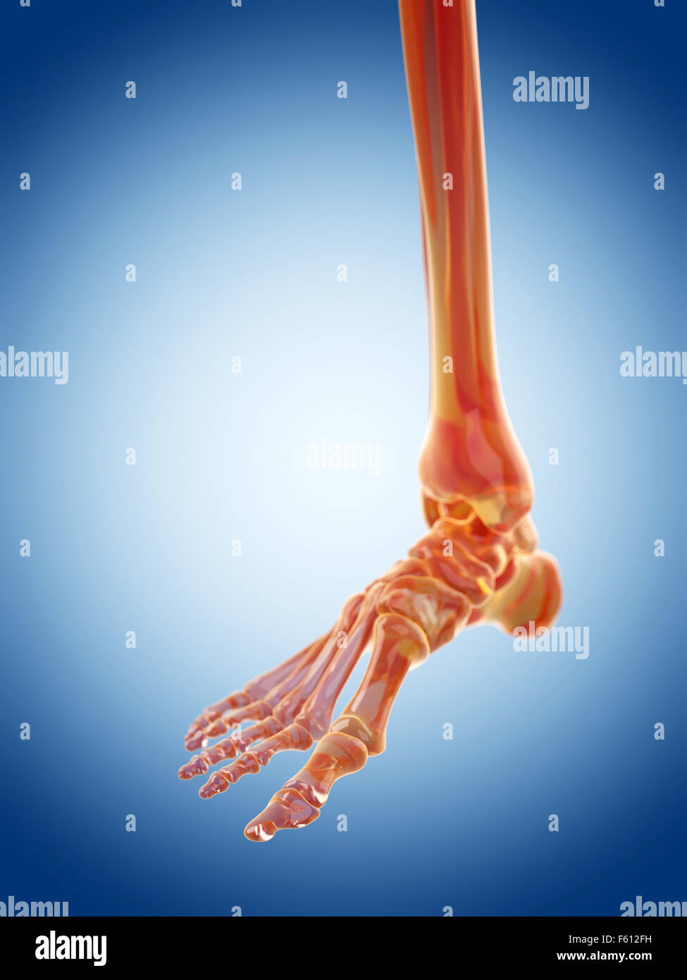 Foot Anatomy Bones Stock Photos Foot Anatomy Bones Stock Images