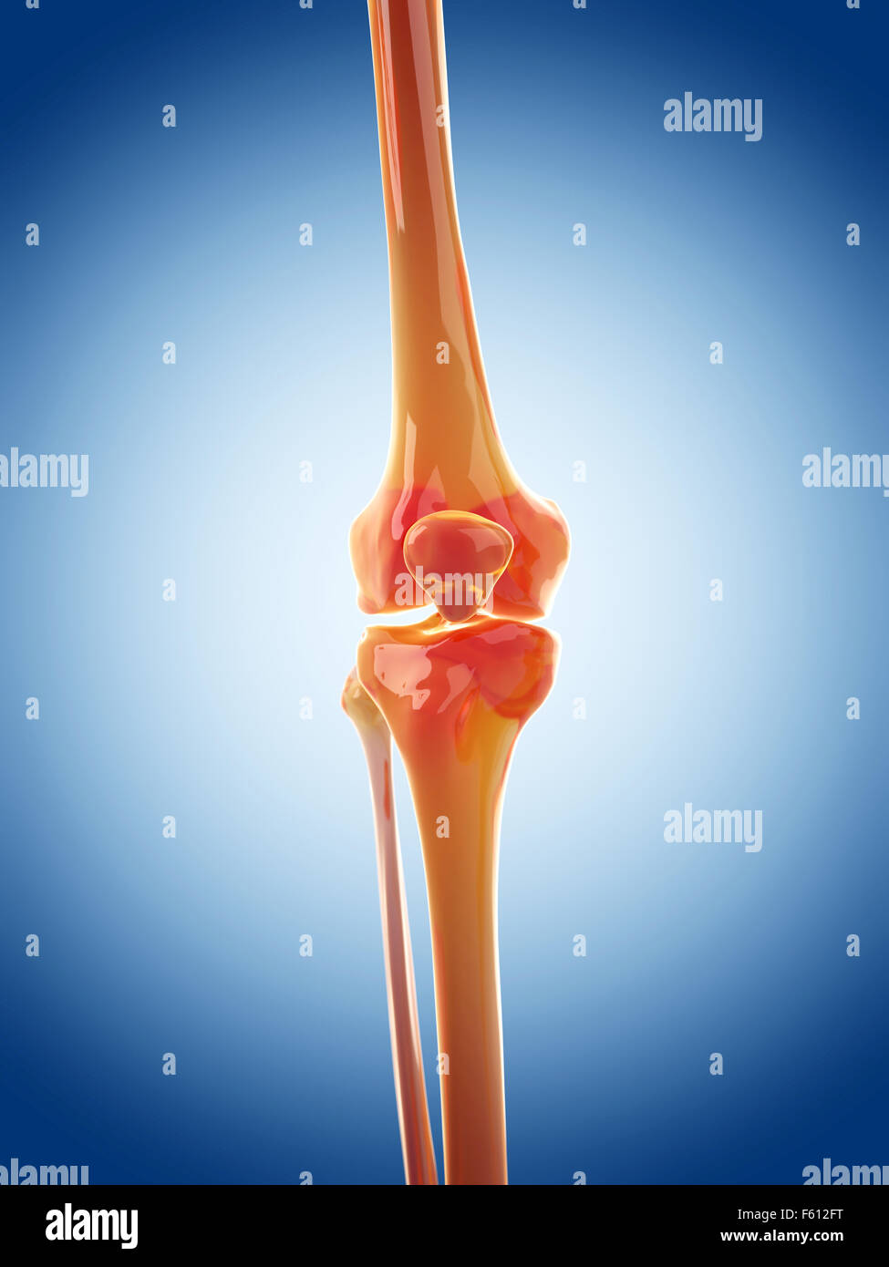 medically accurate illustration of the knee joint - Stock Image