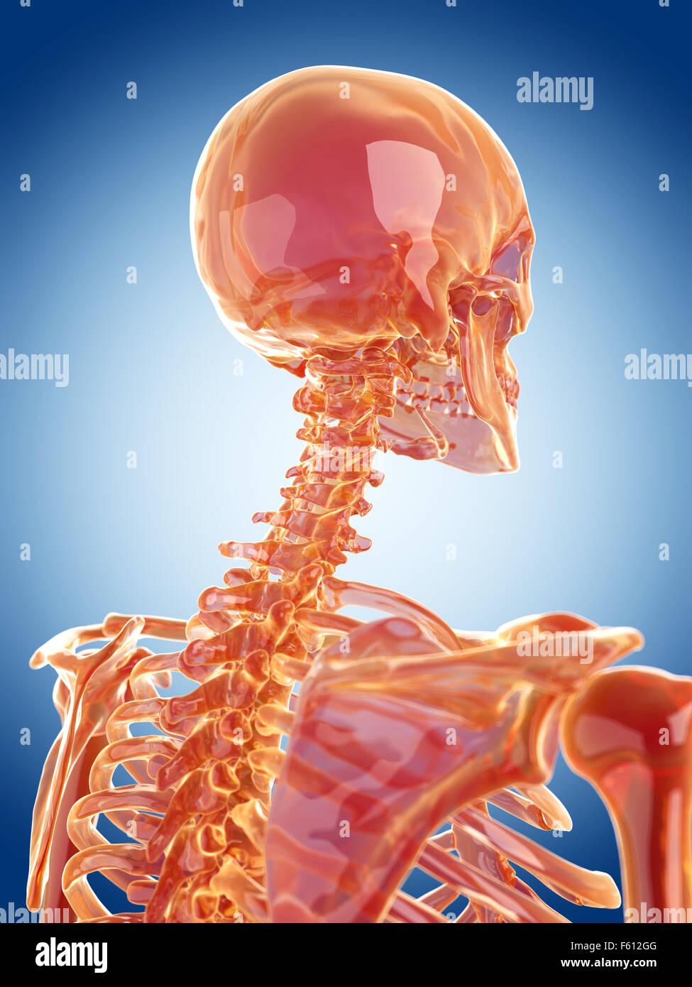 glass skeleton illustration - the cervical spine - Stock Image