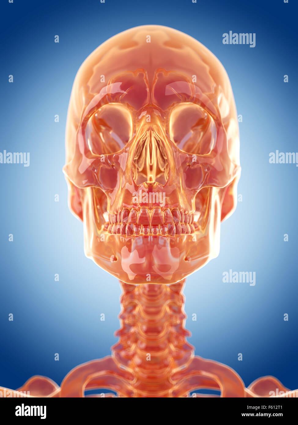 glass skeleton illustration - the skull - Stock Image