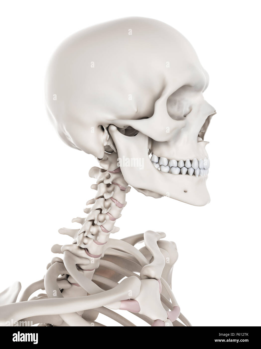 Medically Accurate Illustration Of The Skeletal System The Neck