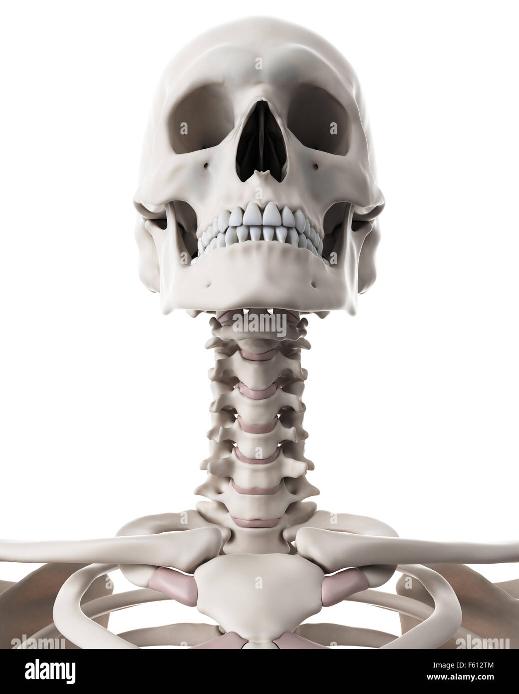 Skull Cervical Spine Artwork Stock Photos Skull Cervical Spine