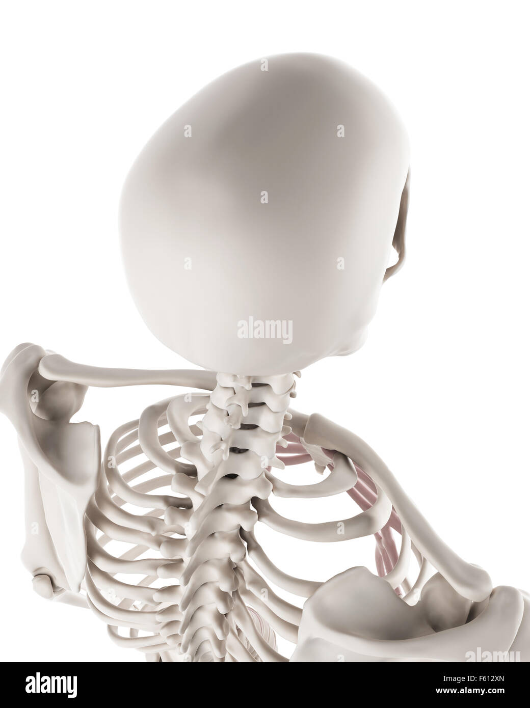 Medically Accurate Illustration Of The Skeletal System The Skull