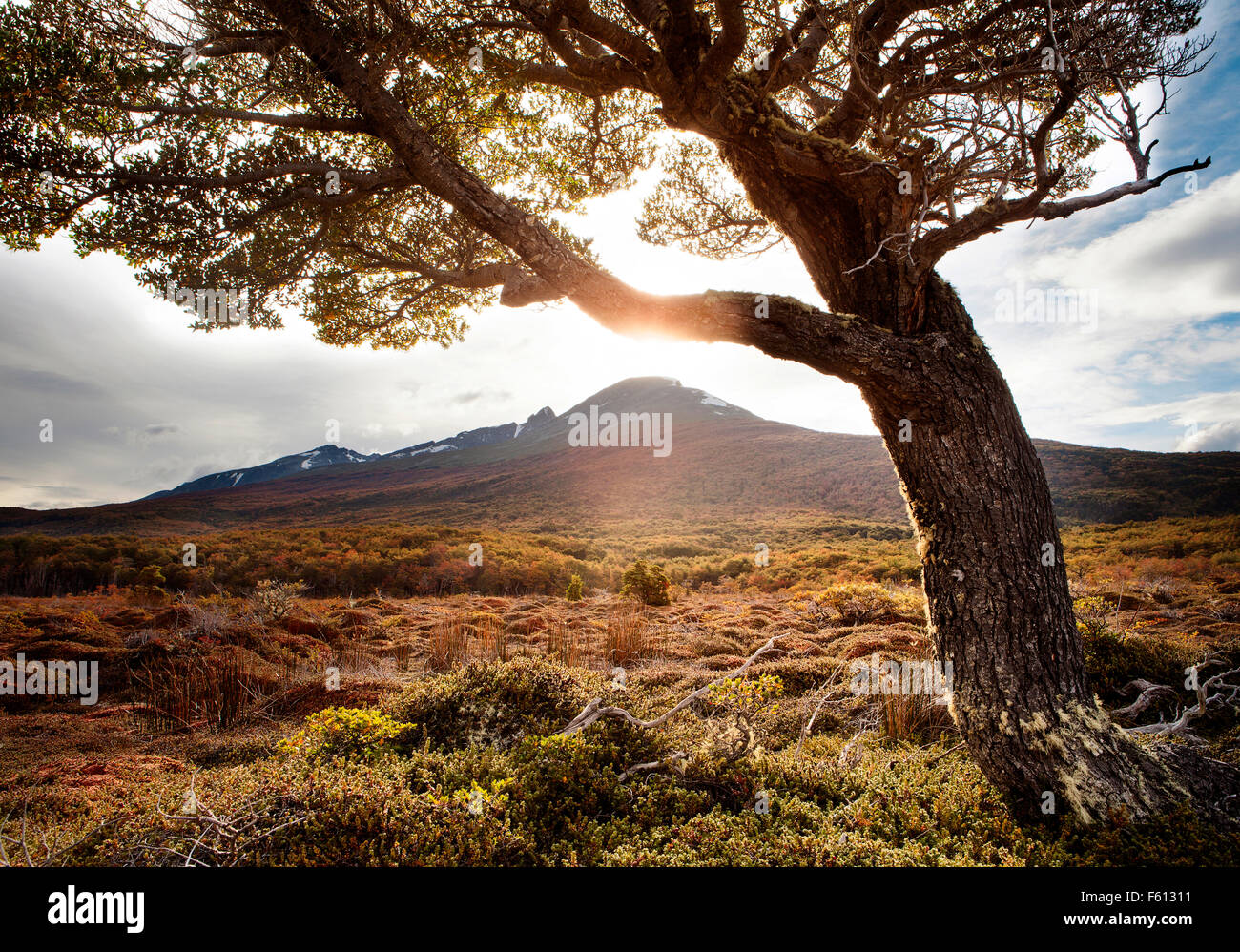 Single tree in front of mountain, Archipielago Cormoranes, Tierra del Fuego National Park, Argentina - Stock Image
