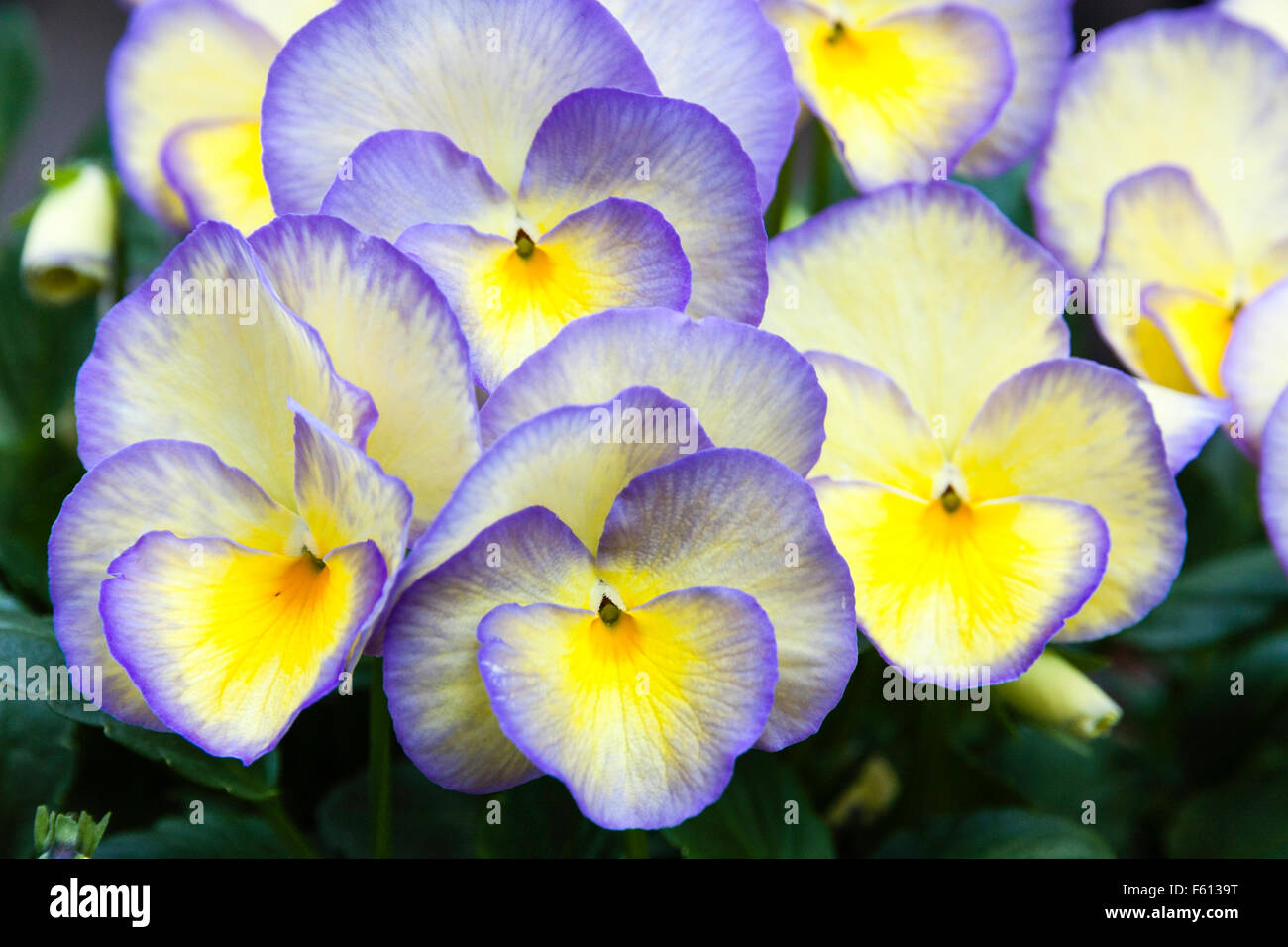Clump of several yellow and mauve pansy flowers in full bloom facing viewer. - Stock Image