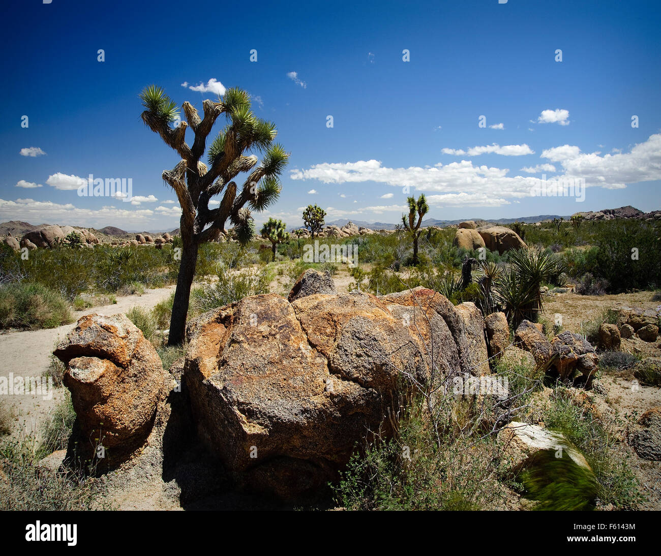 Joshua Tree in Joshua Tree National Park The Joshua tree is one of the most easily recognizable trees in the American - Stock Image