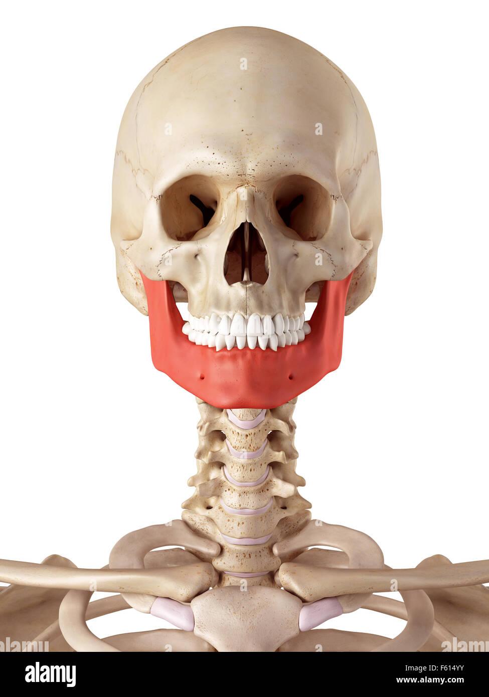 Jaw Bone Stock Photos Jaw Bone Stock Images Alamy