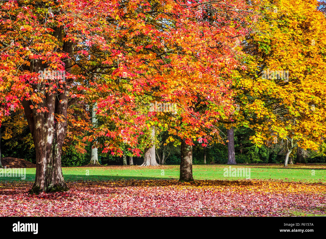 Red Maple Acer Rubrum October Glory And Fastigiate Norway Maple