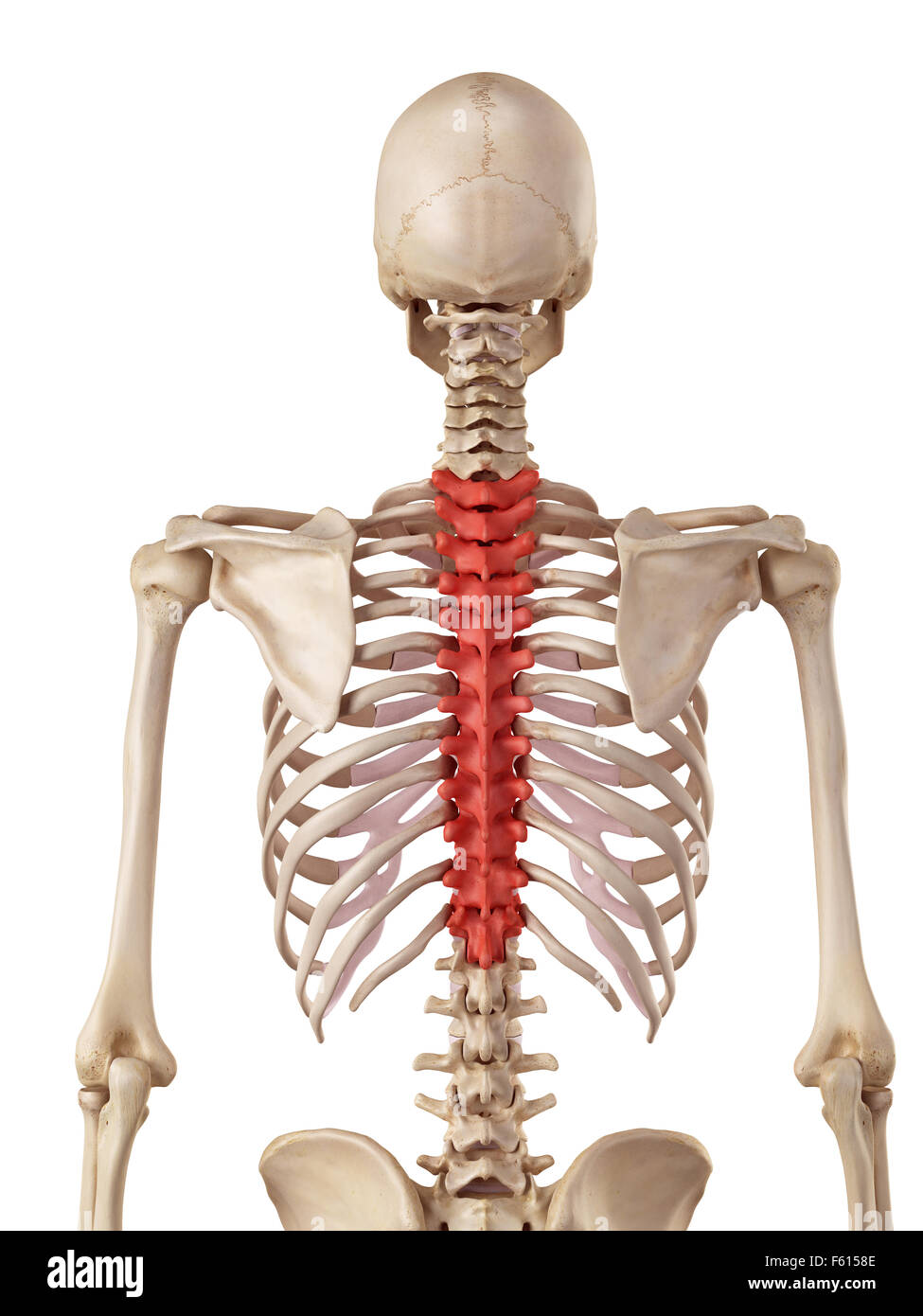 Thoracic Vertebrae Stock Photos Thoracic Vertebrae Stock Images