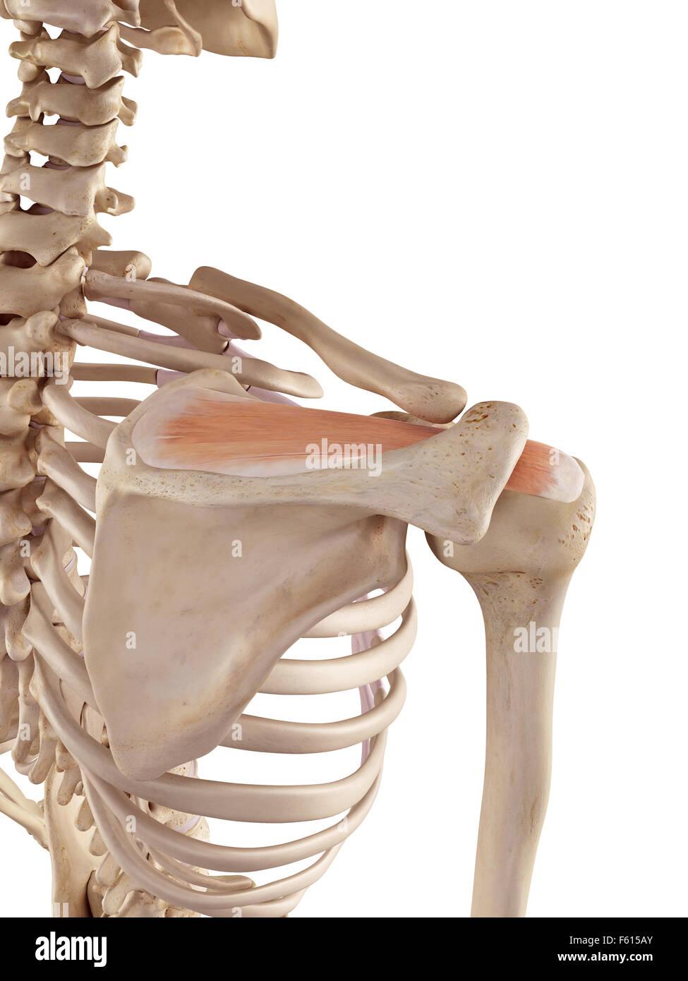 Supraspinatus Muscle Stock Photos Supraspinatus Muscle Stock