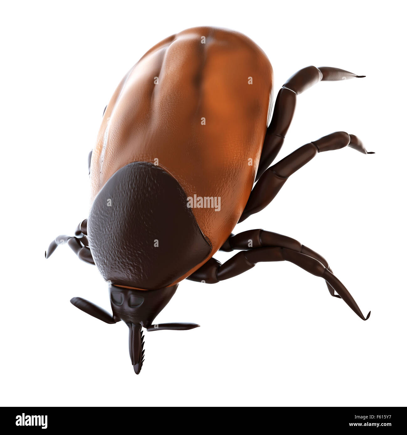 Tick Insect Anatomy Stock Photos & Tick Insect Anatomy Stock Images ...