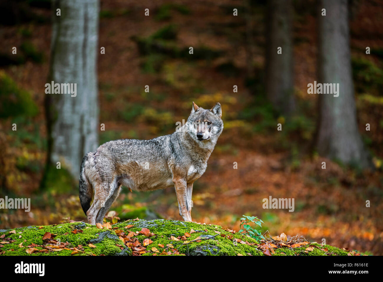 European grey wolf (Canis lupus) in autumn forest Stock Photo