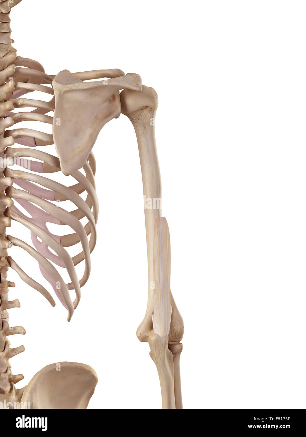 medical accurate illustration of the triceps tendon Stock Photo ...