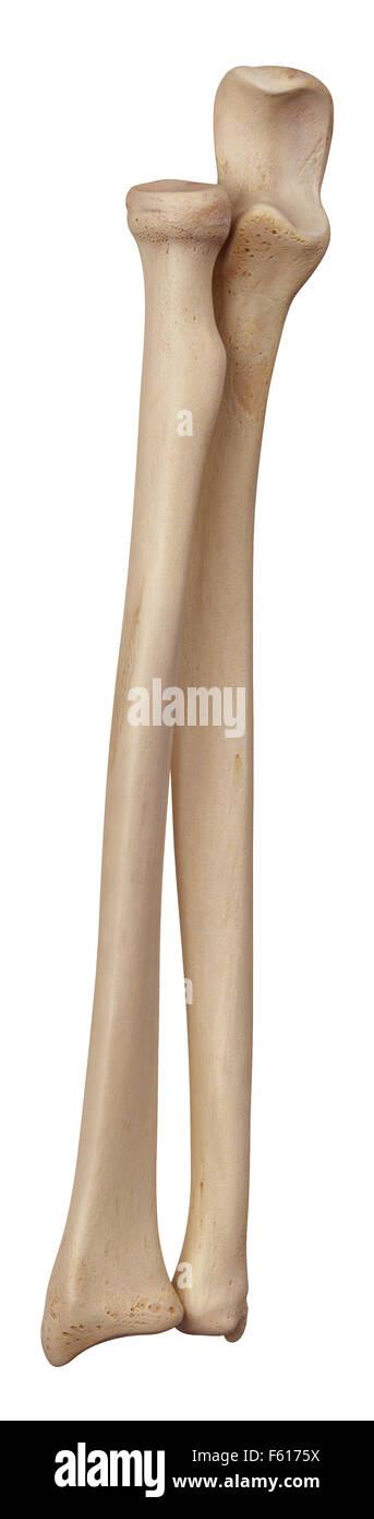 Lower Arm Bone Stock Photos & Lower Arm Bone Stock Images - Alamy