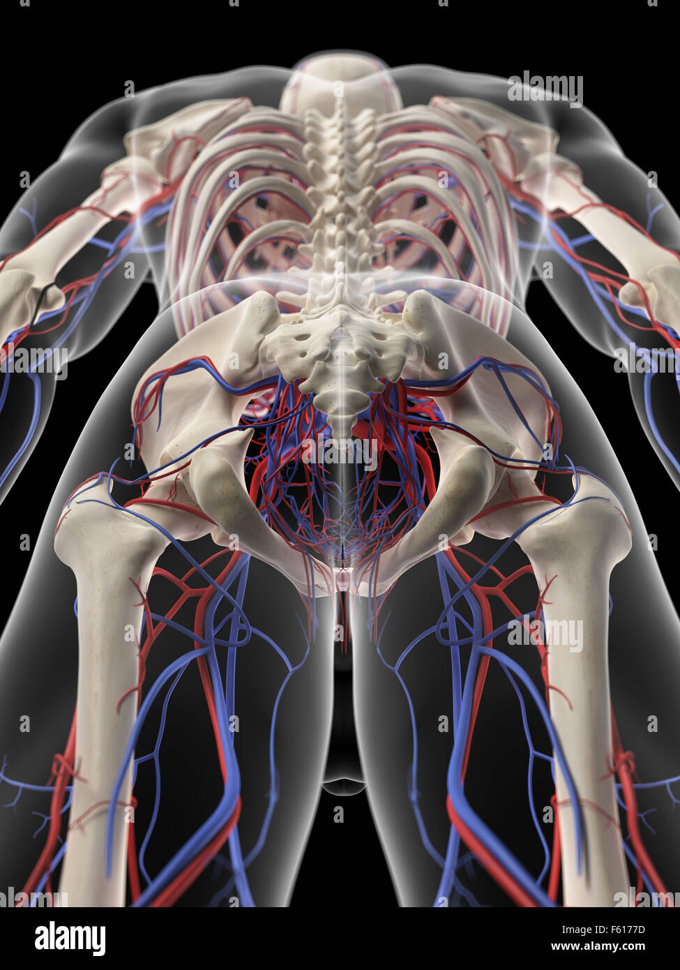 medically accurate illustration of the pelvic circulatory system - Stock Image