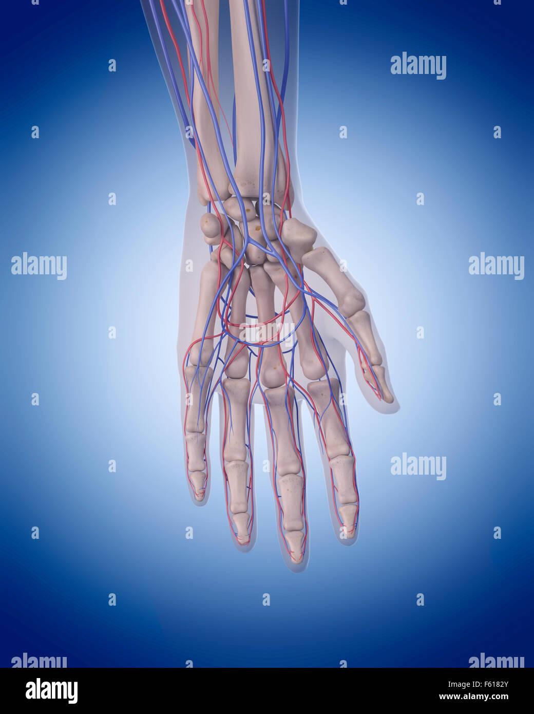 Human Vascular System Hand Stock Photos & Human Vascular System Hand ...