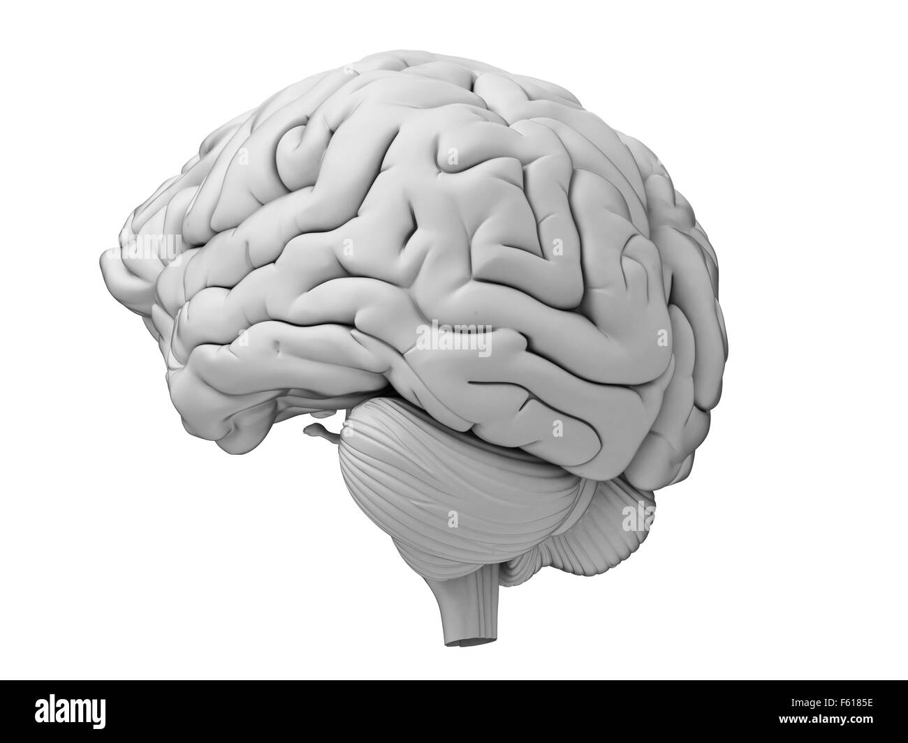 medically accurate illustration of the human brain - Stock Image
