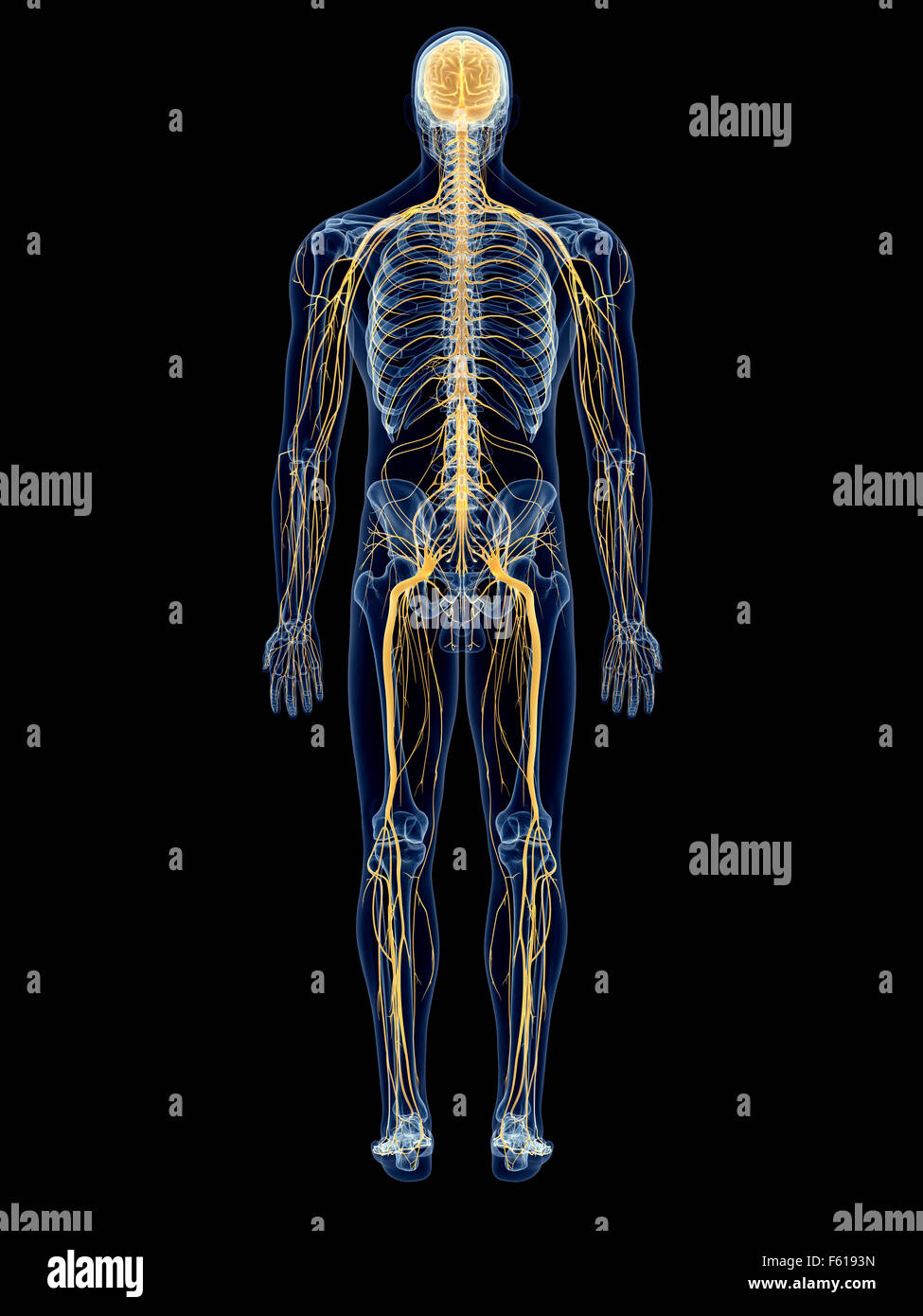 Nervous System Stock Photos & Nervous System Stock Images - Alamy
