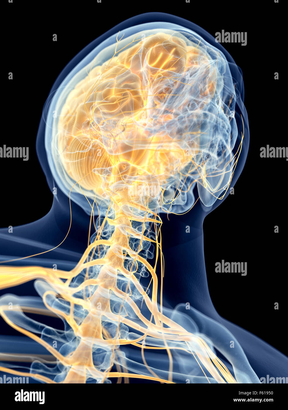 medically accurate illustration of the cervical nerves - Stock Image