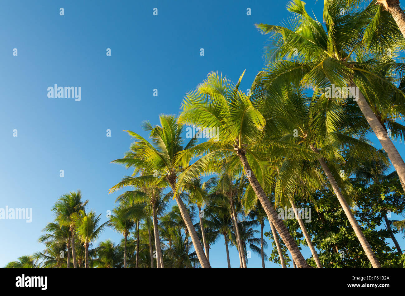 row of palm trees against a blue sky - Stock Image