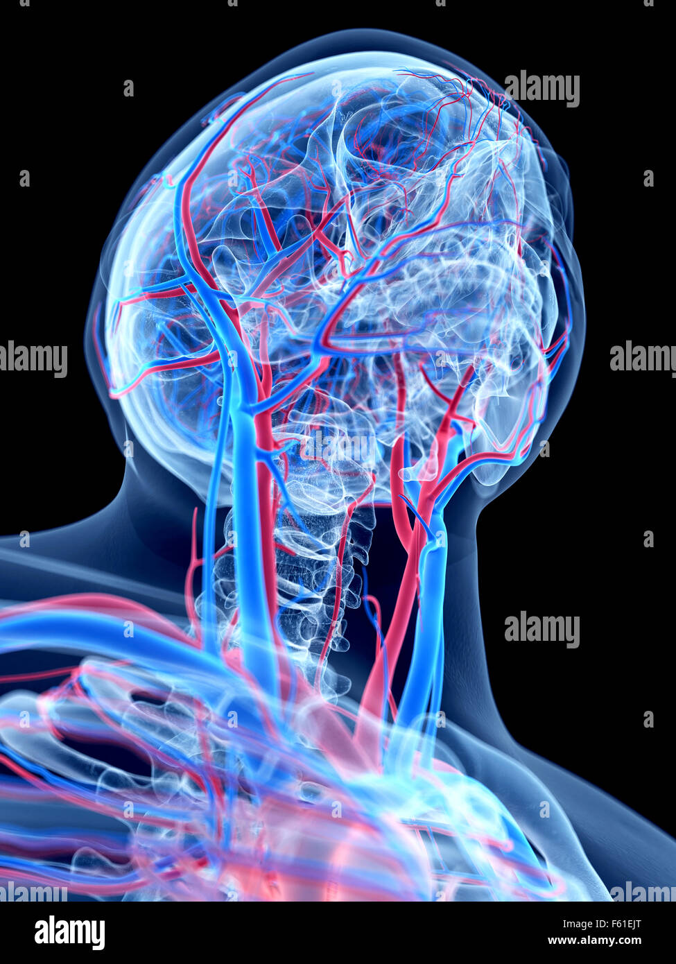 The Human Vascular System The Neck Stock Photo 89773232 Alamy