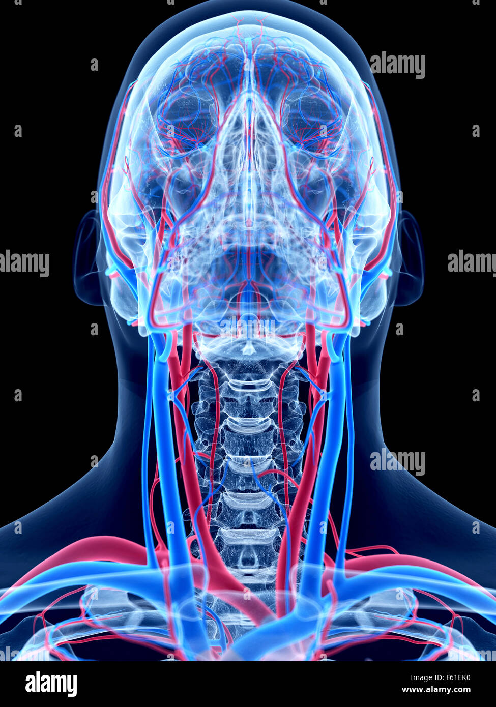 The Human Vascular System The Neck Stock Photo 89773236 Alamy