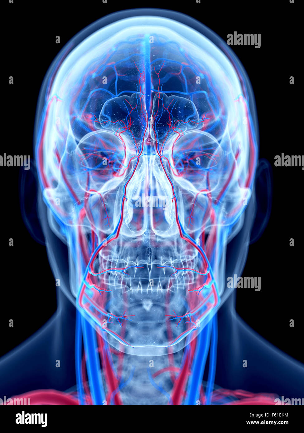 Neck Artery Stock Photos & Neck Artery Stock Images - Alamy