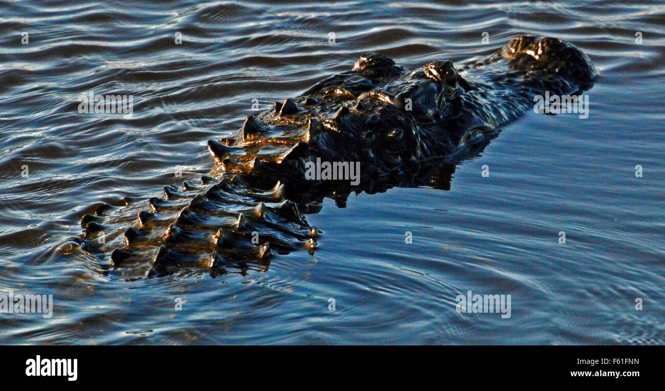 Florida Alligator - Stock Image