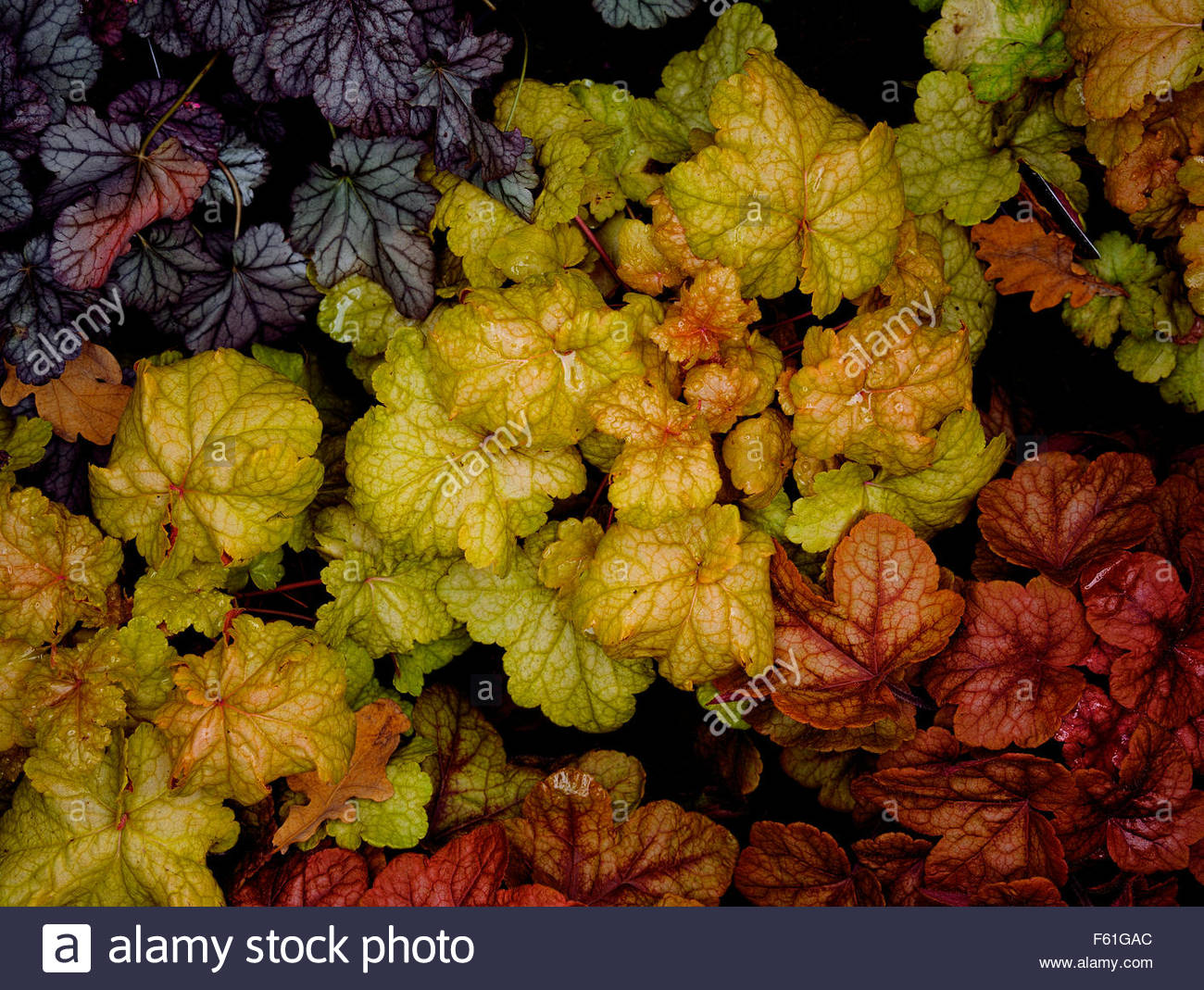 assortment of different colored Heuchera, Saxifragaceae - Stock Image