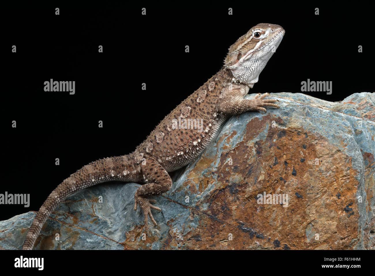 Rankin's Dragon (Pogona Henrylawsoni) - Stock Image
