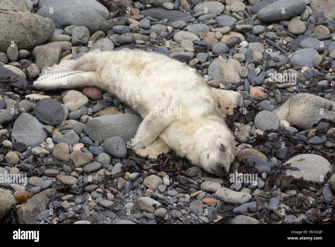 A young seal pup snoozing on a pebbly beach, Ramsey Island, Pembrokeshire, Wales, UK - Stock Image
