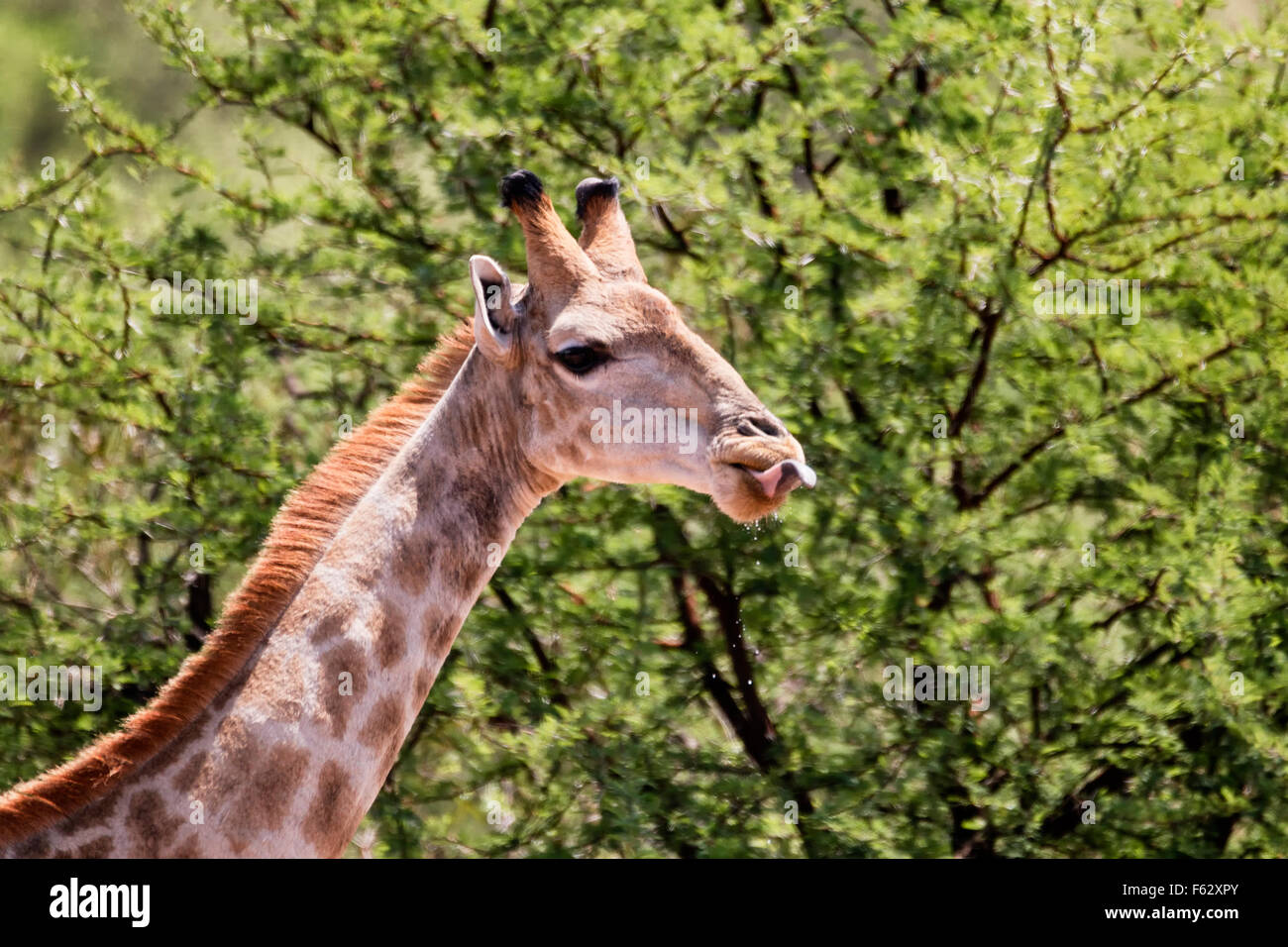 Giraffe Tong Out - Stock Image