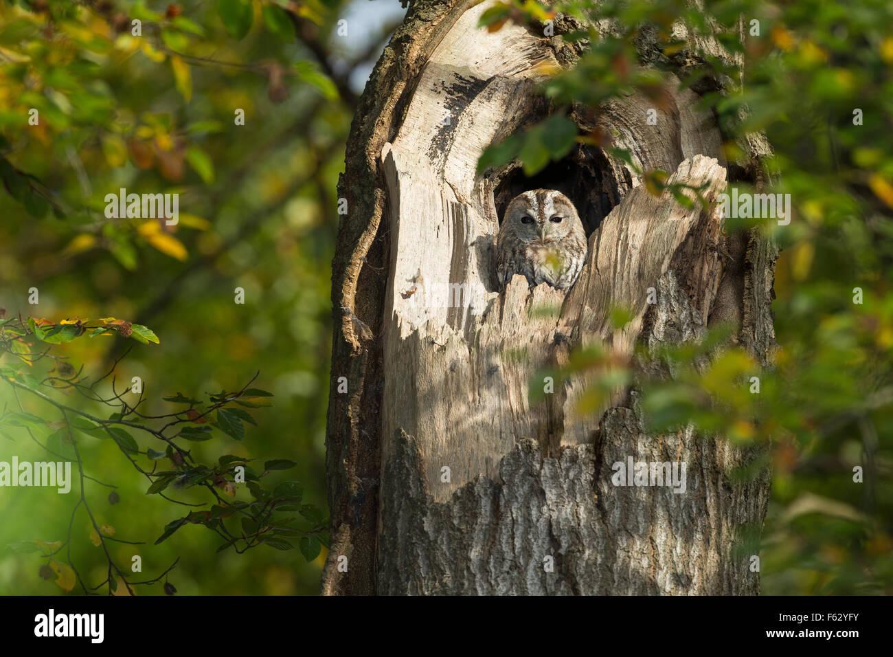 Tawny owl, Waldkauz, ruht am Tage in einer Baumhöhle, Strix aluco, Wald-Kauz, Kauz, Käuzchen - Stock Image