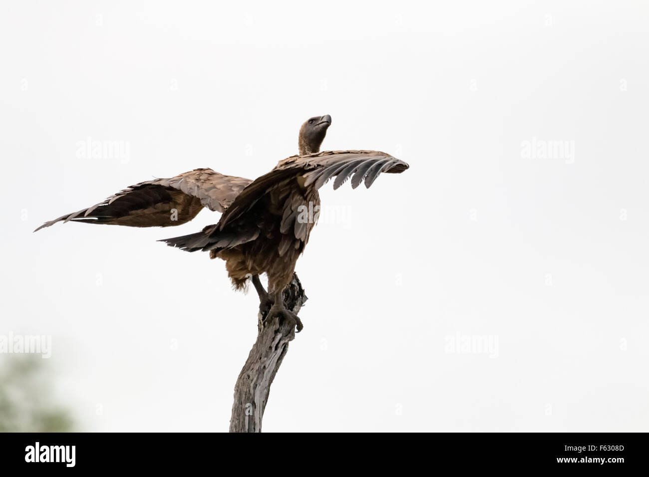 Basking Vulture - Stock Image