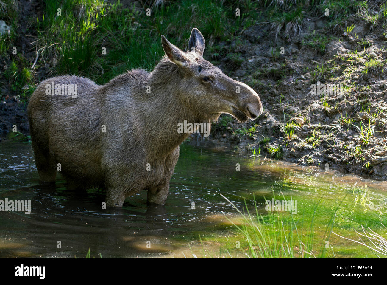 Moose (Alces alces) female / cow cooling down in water of pond on a hot day in summer - Stock Image