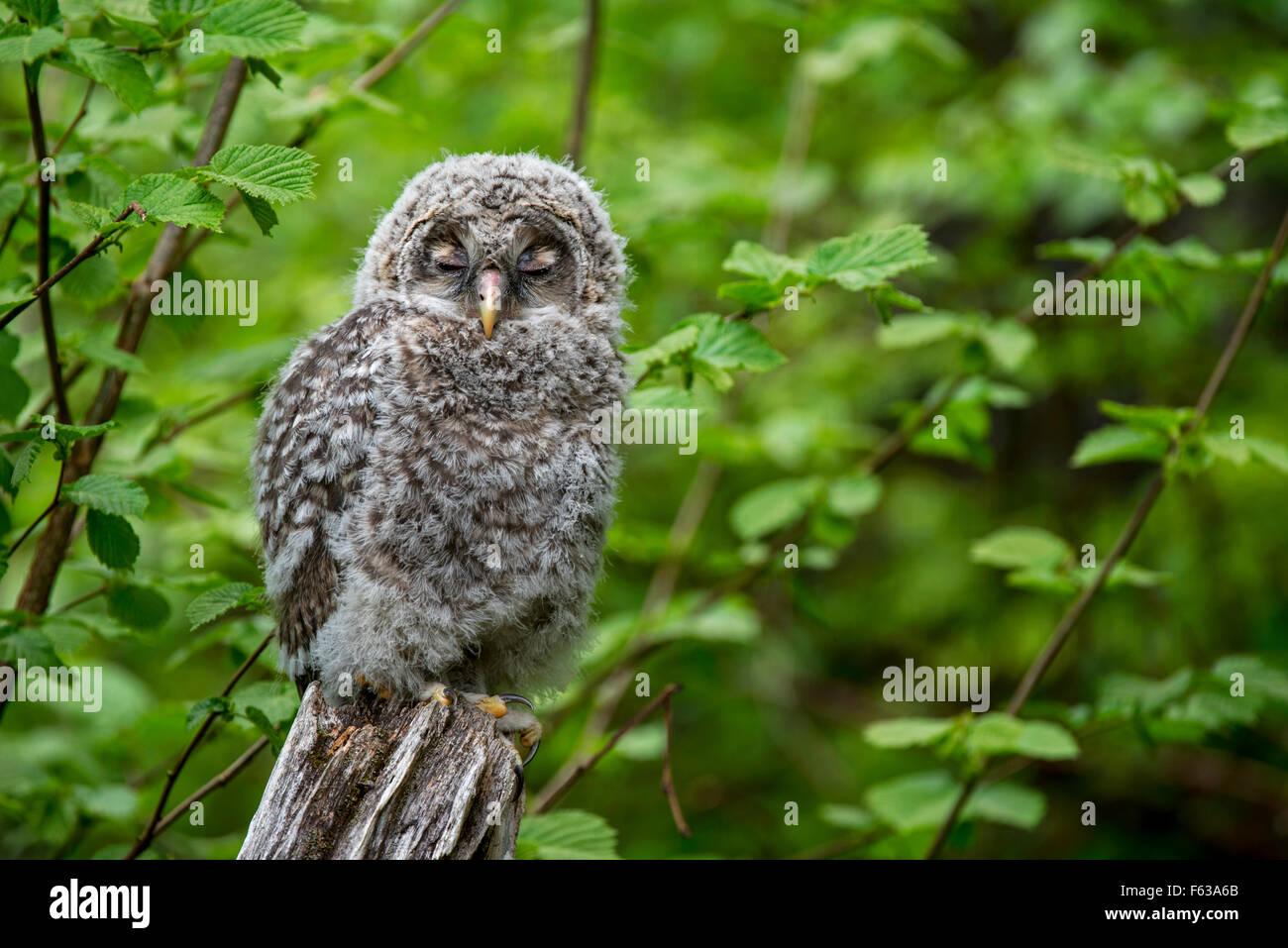 Ural owl (Strix uralensis) fledgling sleeping on tree stump in forest - Stock Image