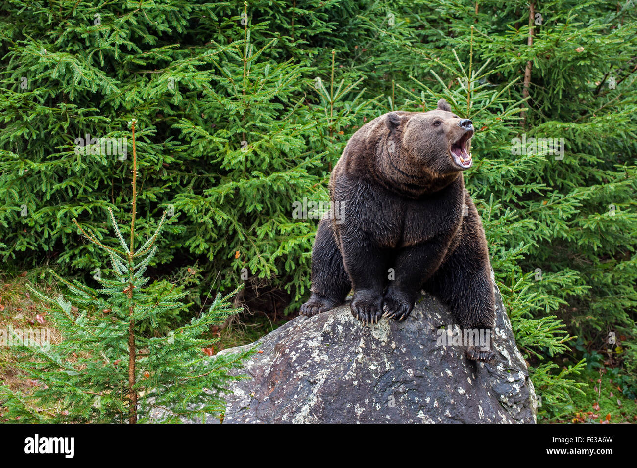 Eurasian brown bear (Ursus arctos arctos) on rock growling in coniferous woodland - Stock Image