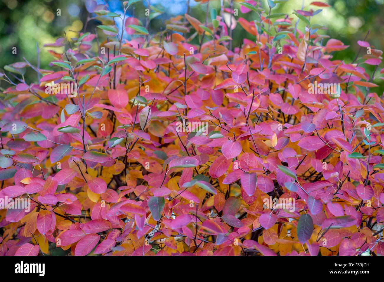 Amelanchier arborea Robin Hill - Tree & Garden Gift Company   957x1300