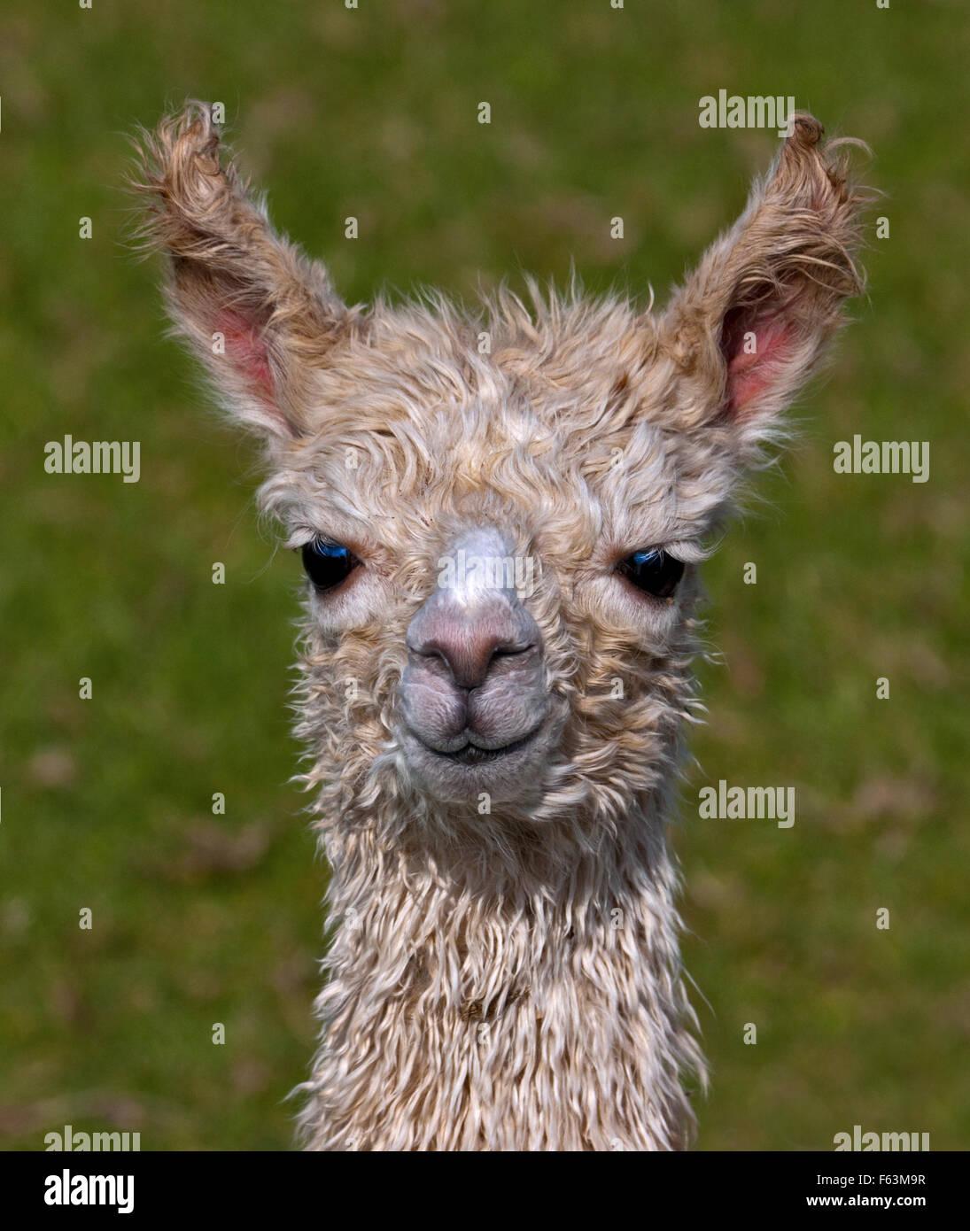 Baby Alpaca or Cria (vicugna pacos) - Stock Image