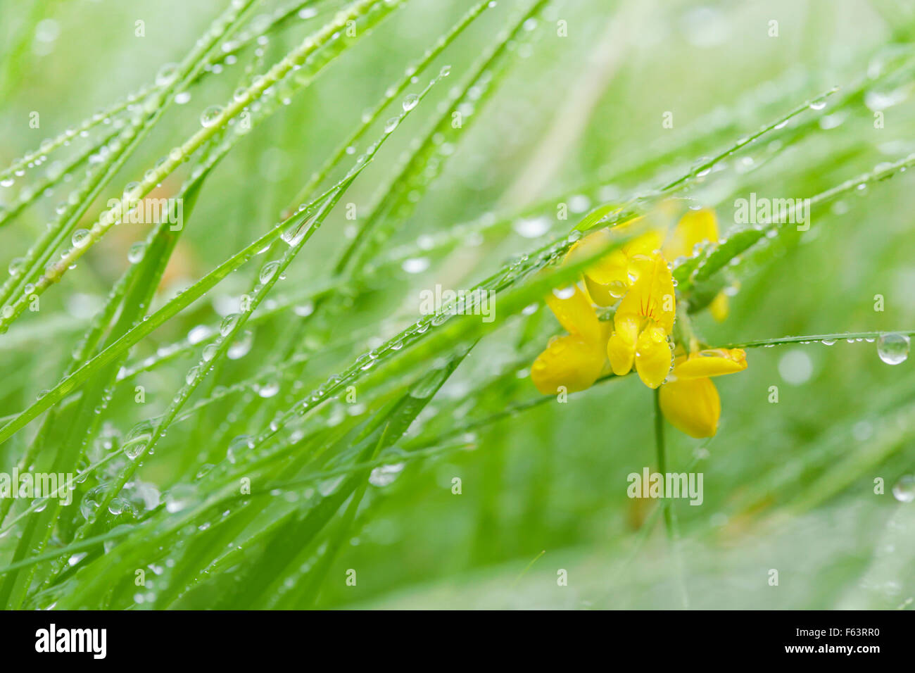 Yellow vetch flower stock photo 89824308 alamy yellow vetch flower mightylinksfo
