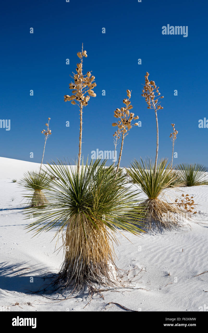 Alamogordo, New Mexico - Soaptree yucca plants (Yucca elata) in White Sands National Monument. - Stock Image