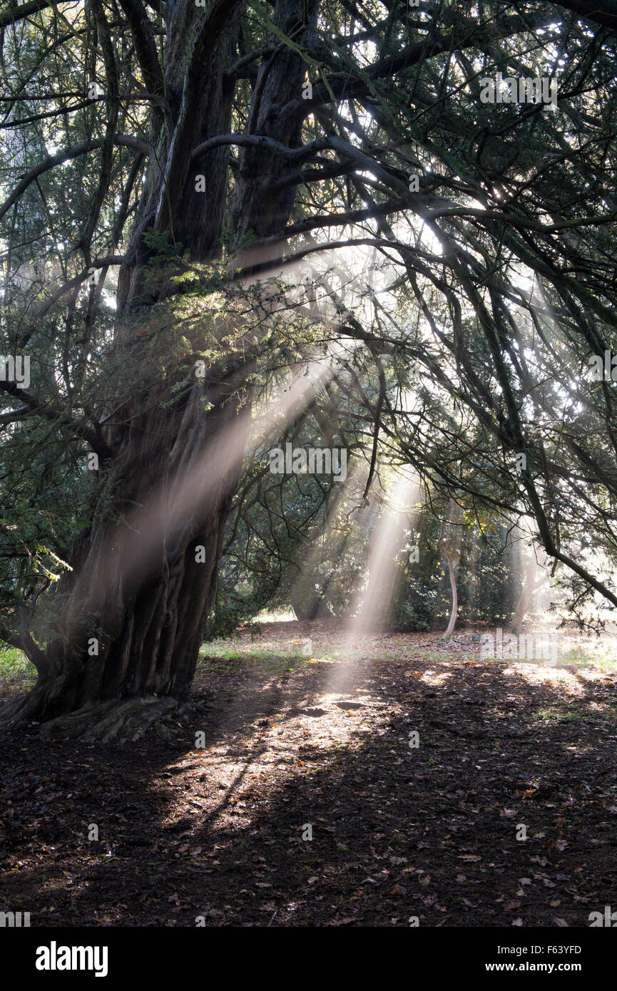 Yew tree, sunrays and autumn mist at Westonbirt Arboretum, Gloucestershire, England - Stock Image