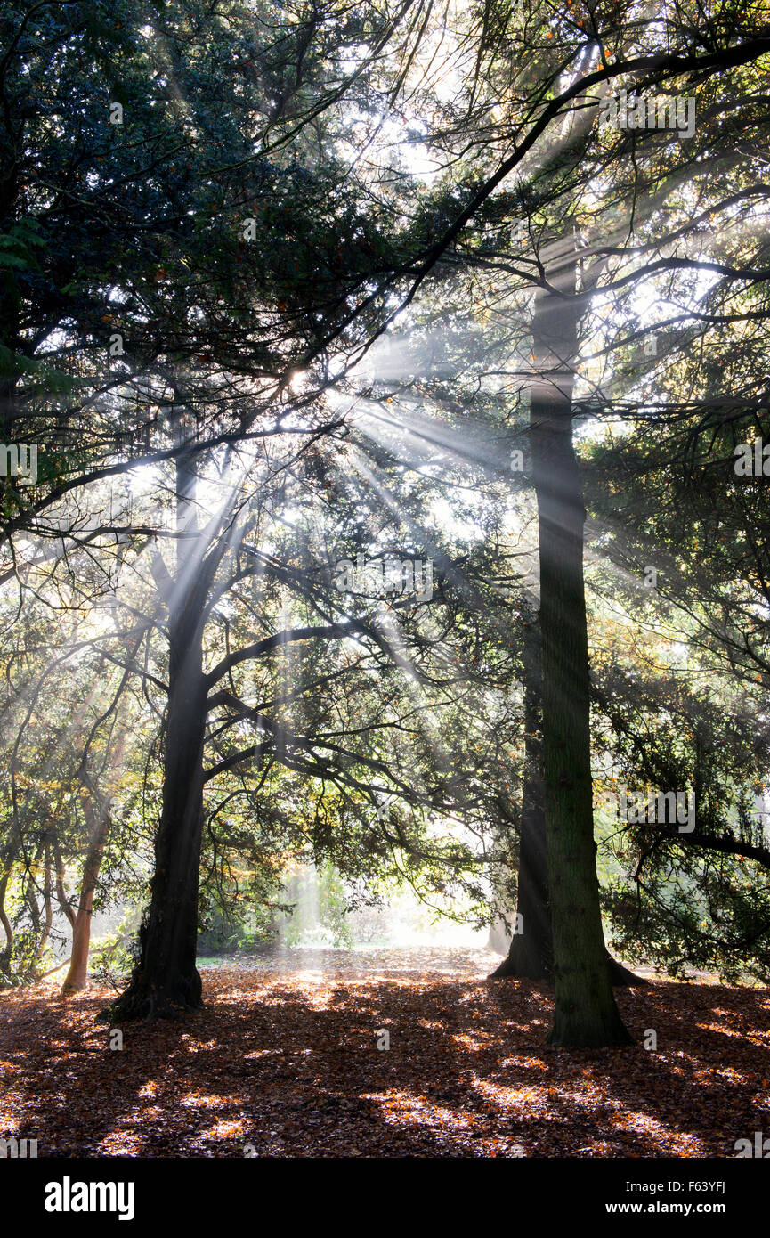 Pine trees, sunrays and autumn mist at Westonbirt Arboretum, Gloucestershire, England - Stock Image