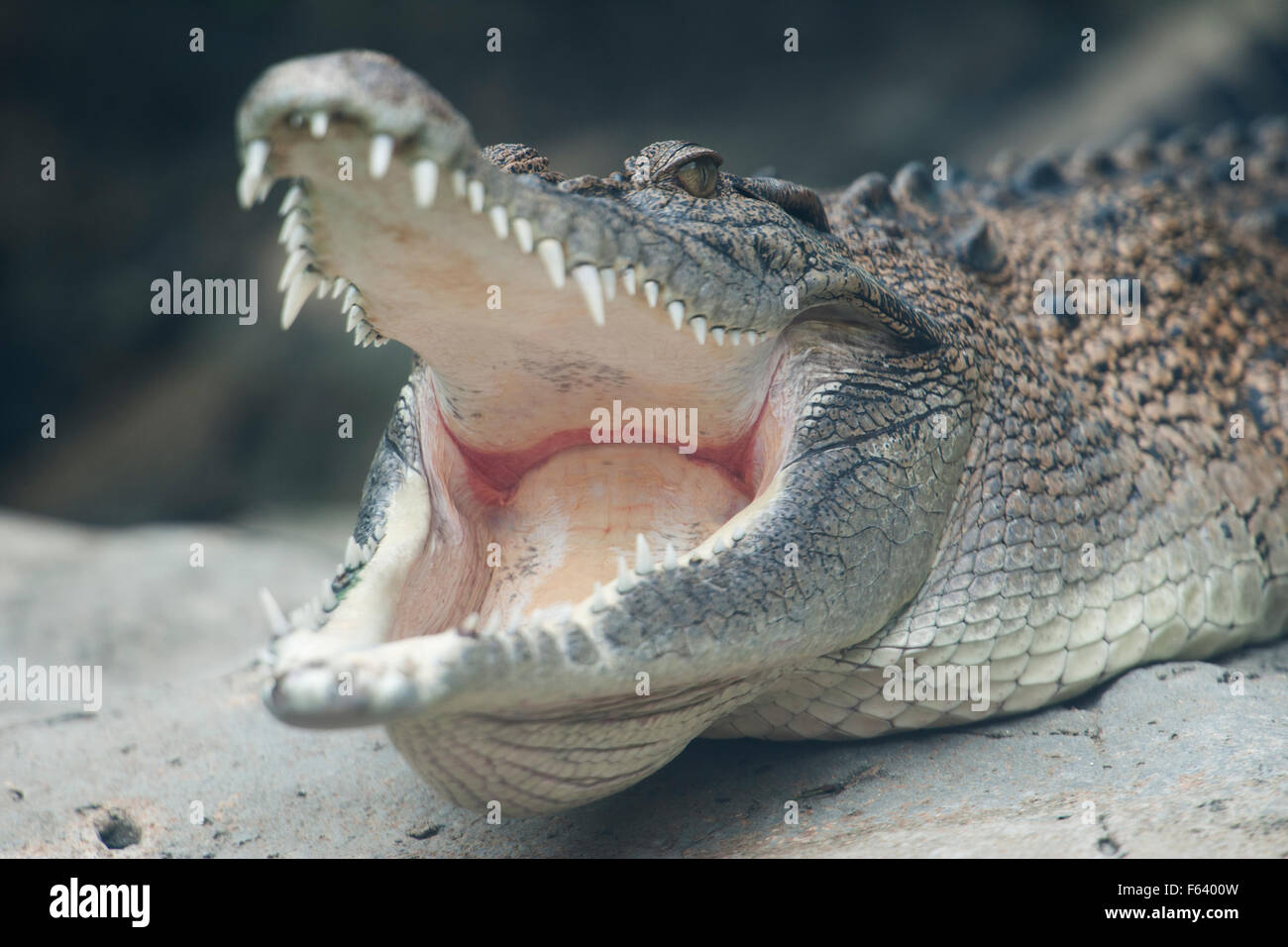 Saltwater crocodile, Crocodylus porosus, (C), basking, yawning, showing eye, mouth and teeth, Asia. - Stock Image